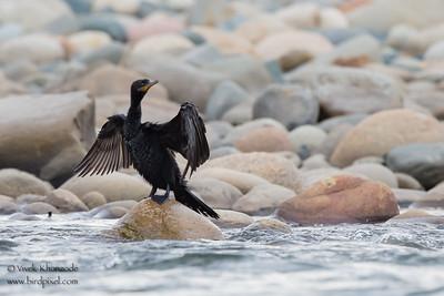 Neotropic Cormorant - Madre-de-Dios, Nr. Manu National Park, Peru