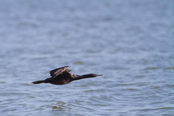 Cormorants & Shags - Phalacrocoracidae
