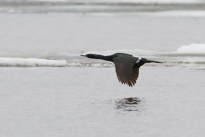 Pelagic Cormorant in flight - Teller, AK, USA