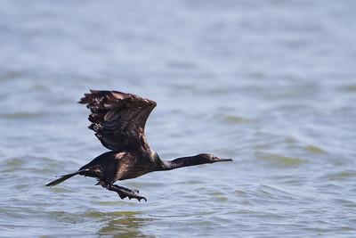Pelagic Cormorant - Moss Landing, CA, USA