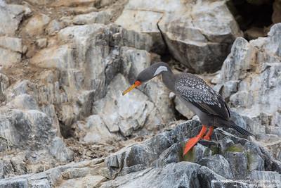 Red-legged Cormorant - Pucusana, Peru