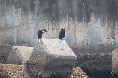 Japanese Cormorant - Record - Oiso coast, Kanagawa, Japan