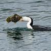 The Australian pied cormorant (Phalacrocorax varius)