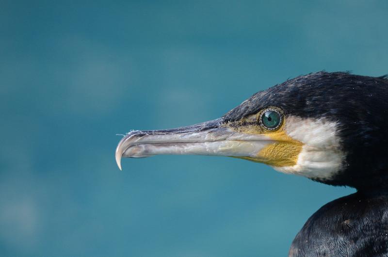 Cormorant, Jurong Bird Park, Singapore.