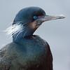 Brandt's Cormorant in Breeding Plumage