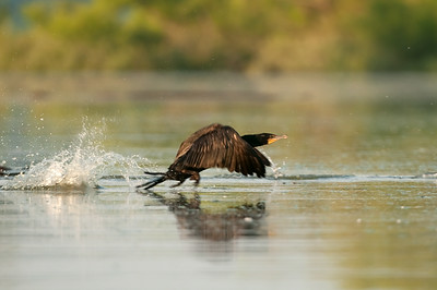 Double Crested Cormorant - Hoover Reservoir, Ohio