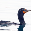 Double crested Cormorant Breeding Plumage