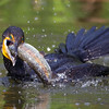 Double crested Cormorant with Trout