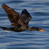 Double crested Cormorant Pooping in Flight