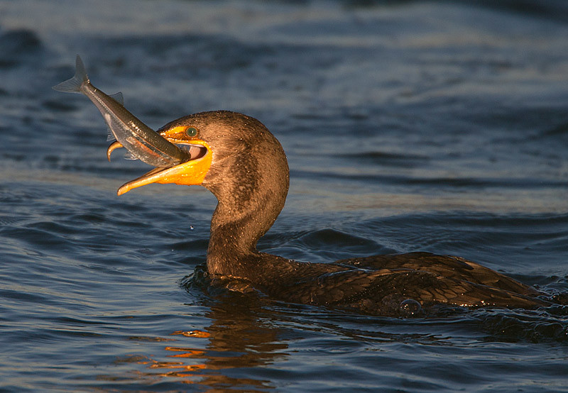 Couble crested Cormorant with Fish