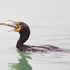Double crested Cormorant Swallowing Fish
