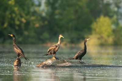 Double Crested Cormorants - Hoover Reservoir, Ohio