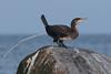 Great cormorant, Skarv, Phalacrocorax carbo, Gilleleje, Danmark, Nov-2014