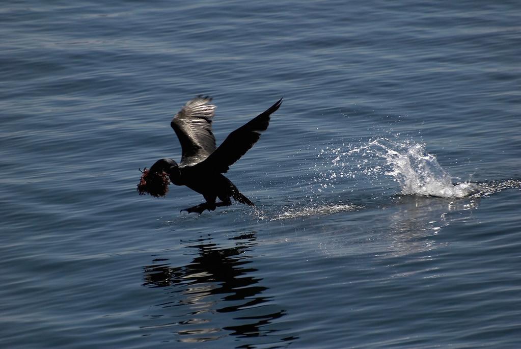 Male Adult Brandt's Cormorant