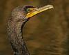 _MG_0560-20D-011705_1000AM cormorant head shot printed 14x11