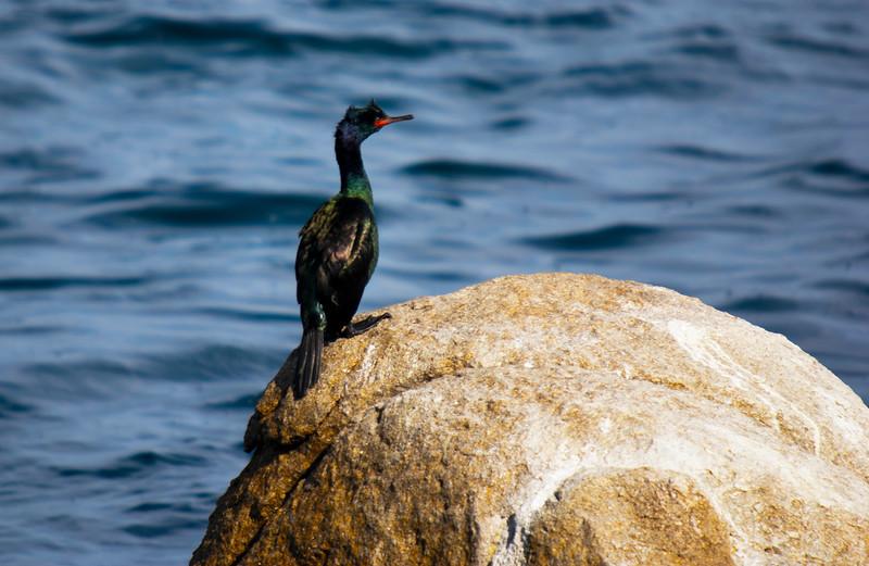 Adult Brandt's Cormorant