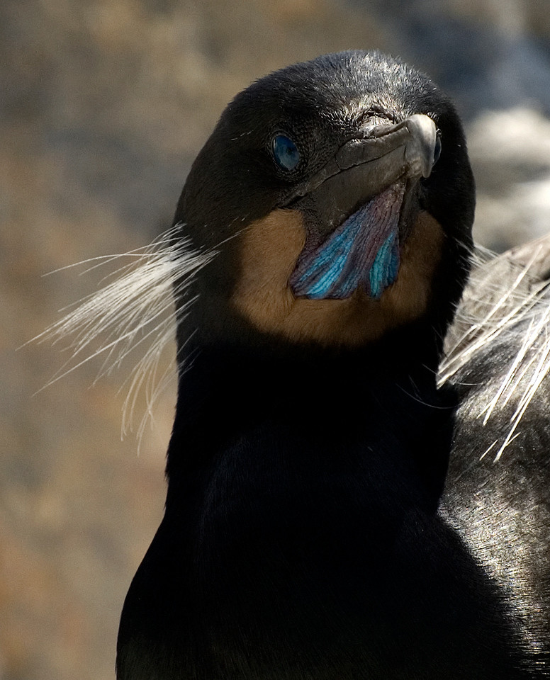 Female Adult Brandt's Cormorant