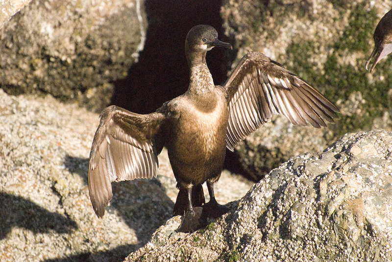 Young Brandt's Cormorant