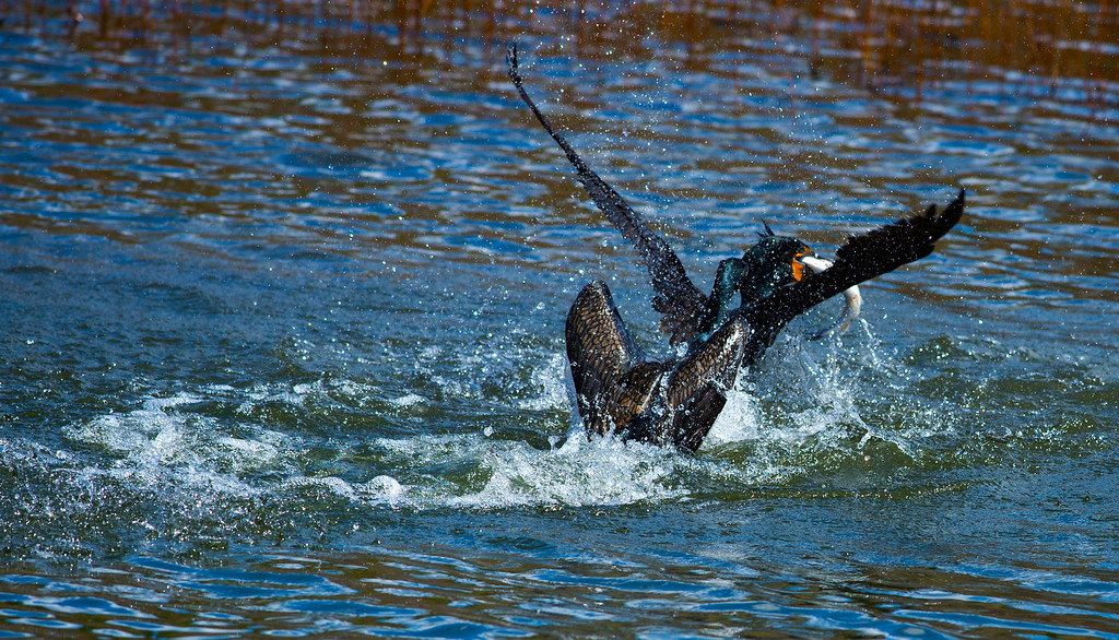 Double-crested Cormorants Fighting Over Fish