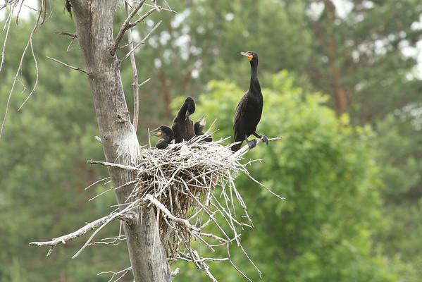 Cormorant With Young (Phalacrocorax auritus)
