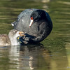 Coot mom and chick sharing gossip of the pond.