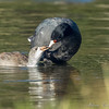 Mom Coot feeding chick