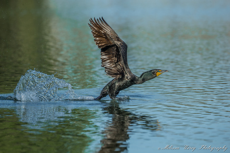 Double Crested Cormorant taking off