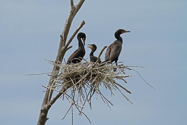 Cormorant Family (Phalacrocorax auritus)