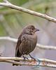 Brown-headed Cowbird-F
