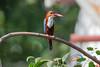 White throated Kingfisher-1