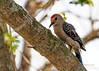 Golden-fronted Woodpecker-2