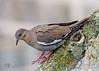 White winger Dove