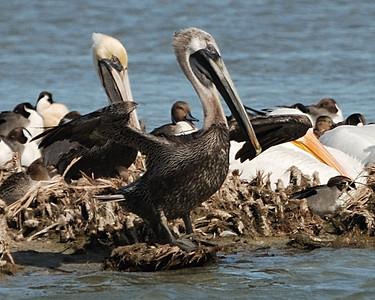 Brown Pelican - Suder Park, Corpus Christi