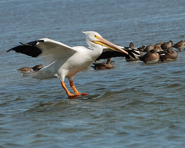 White Pelican coming in for landing - Suder Park, Corpus Christi
