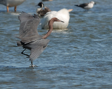 Reddish Egret fishing - Suder Park, Corpus Christi