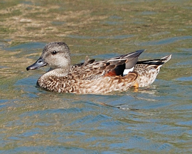 Gadwall female - Suder Park, Corpus Christi