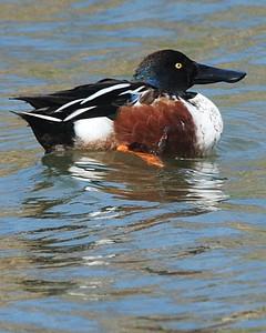 Northern Shoveler male - Suder Park, Corpus Christi