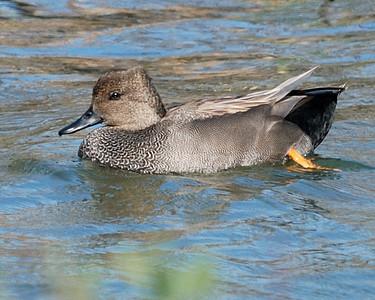 Gadwall male - Suder Park, Corpus Christi