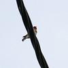 Goldfinch, Poggio di Venaco