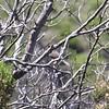 Sardinian warbler (very red eye and reddish feet), Calanche de Piana