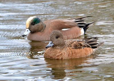 Corvallis Birds -- Feb 2012