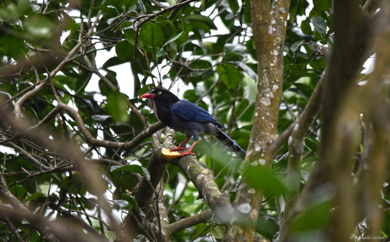 The Taiwan Blue Magpie