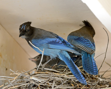 Stellar's Jays with chicks, Nevada Co, CA, 6-22-13. Cropped image.