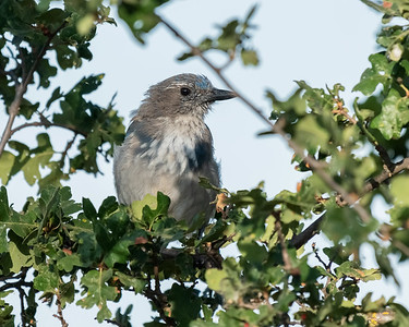 CALIFORNIA SCRUB-JAY, AT MATHER REGIONAL PARK, SACRAMENTO CO, CA.