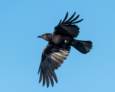 AMERICAN CROW, IN OUR NEIGHBORHOOD.