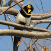 Deformed Yellow-billed Magpie, Northgate, Sac. co, CA, 1-25-11. Cropped image.