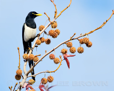 Yellow-billed Magpie, Sacramento County, CA, 12-7-13. Cropped image.