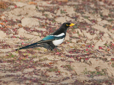 Yellow-billed Magpie, Yolo Co, CA, 12-31-11. Cropped image.