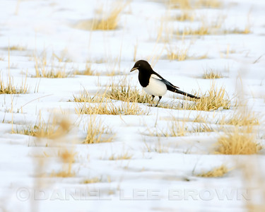 Black-billed Magpie, Alpine County, CA, 12-14-13. Cropped image.