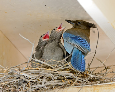 Stellar's Jay with chicks, Nevada Co, CA, 6-22-13. Cropped image.